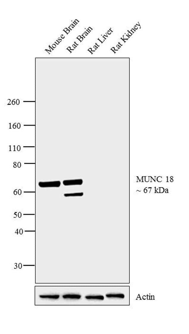 MUNC18 Antibody in Relative expression