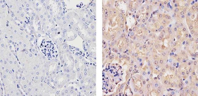 Ubiquilin 1 Antibody in Immunohistochemistry (Paraffin) (IHC (P))