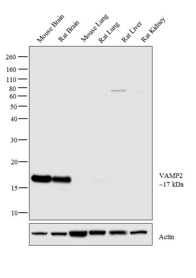 VAMP2 Antibody in Western Blot (WB)