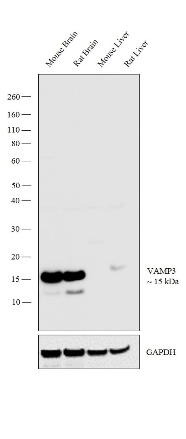 VAMP3 Antibody in Western Blot (WB)
