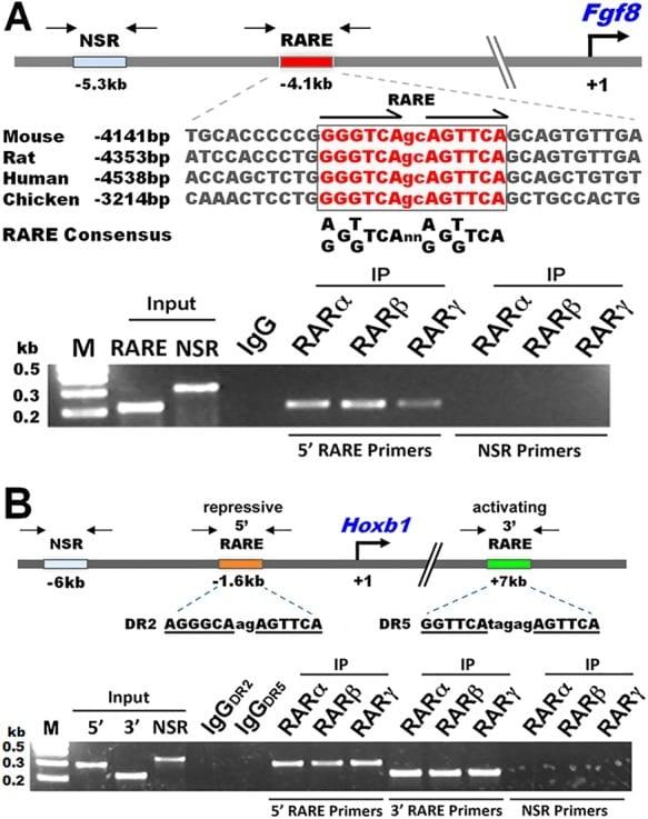 RARB Antibody