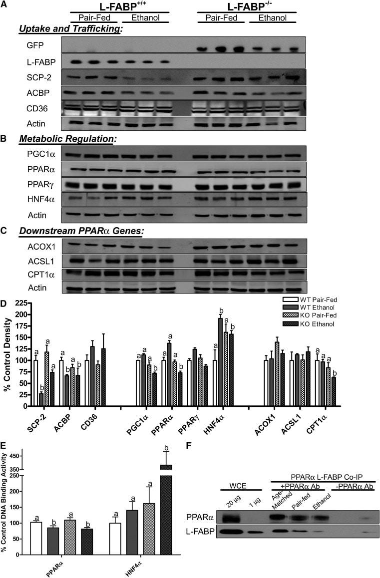 PPAR alpha Antibody