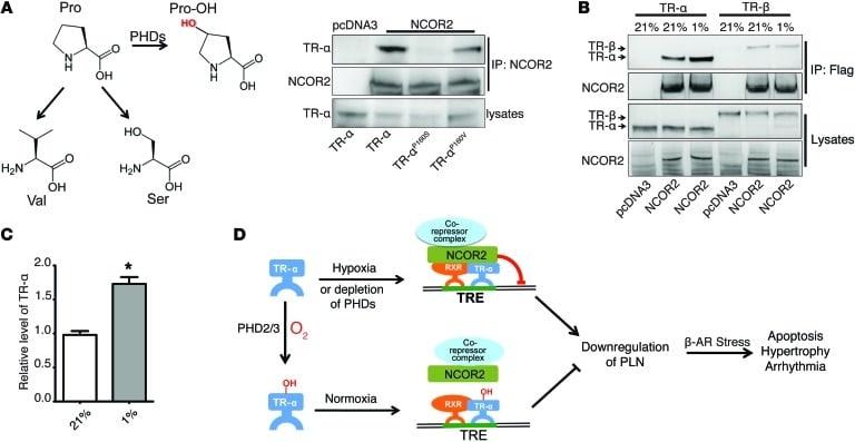NCoR2 Antibody
