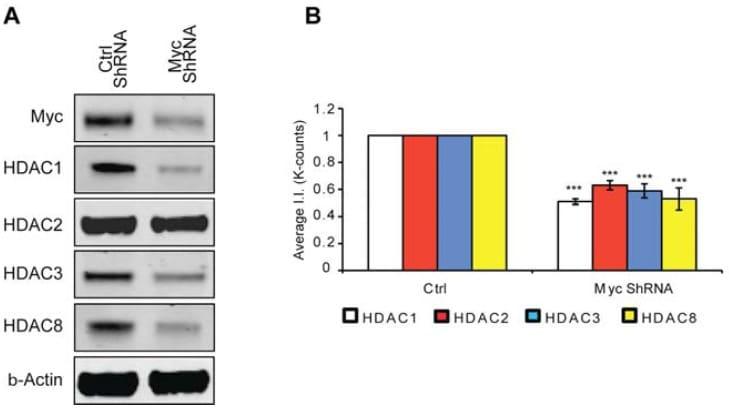 HDAC1 Antibody