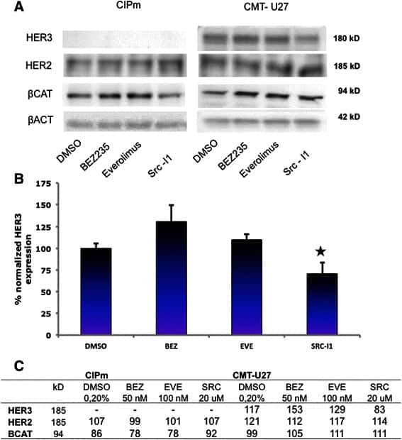 ErbB2 (HER-2) Antibody