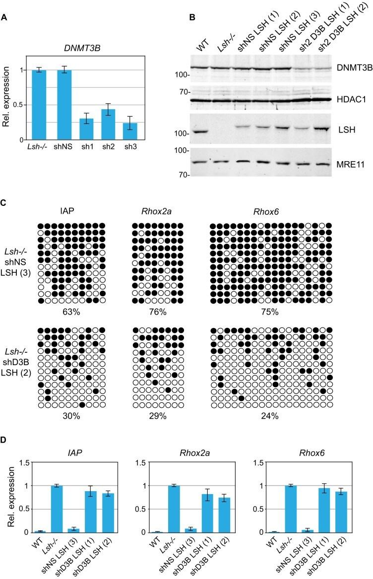 DNMT3B Antibody
