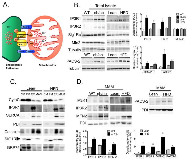 IP3 Receptor 1 Antibody