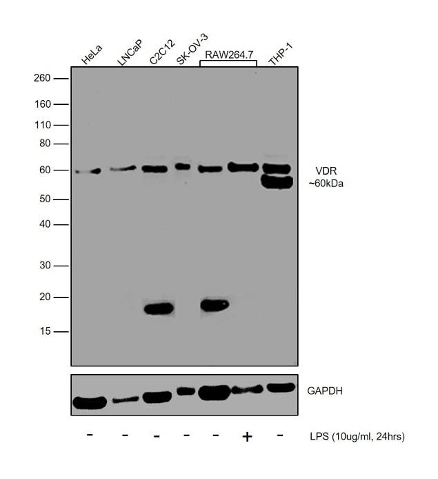 VDR Antibody in Western Blot (WB)