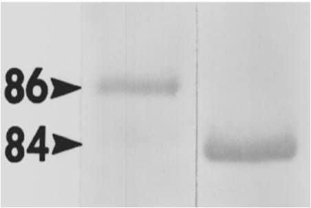 HSP90 alpha Antibody in Western Blot (WB)