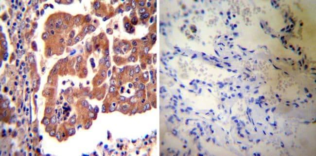 eNOS Antibody in Immunohistochemistry (IHC)