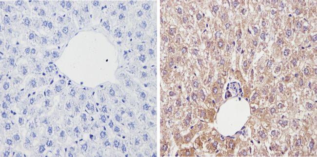 Cyp4a10 Antibody in Immunohistochemistry (Paraffin) (IHC (P))