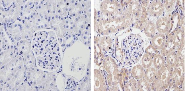 CYP2C11 Antibody in Immunohistochemistry (Paraffin) (IHC (P))