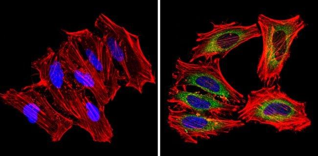 mDIC Antibody in Immunofluorescence (IF)