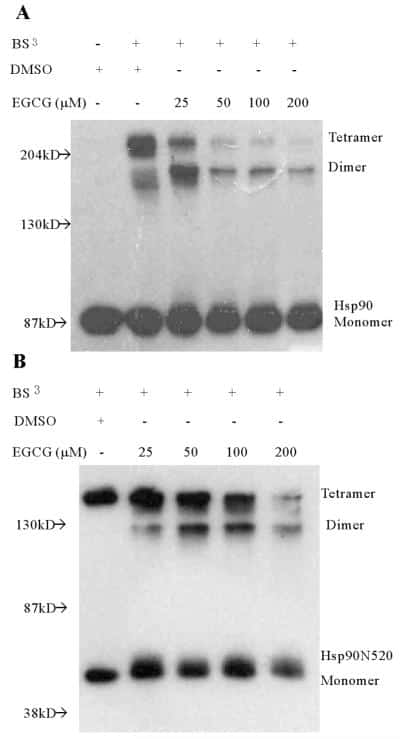 HSP90 alpha Antibody