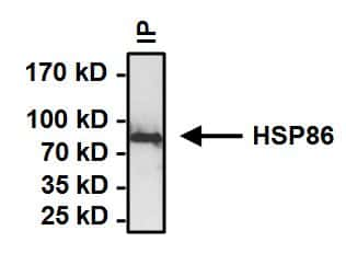 HSP90 alpha Antibody in Immunoprecipitation (IP)