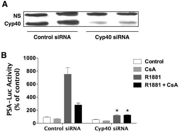 Cyclophilin 40 Antibody