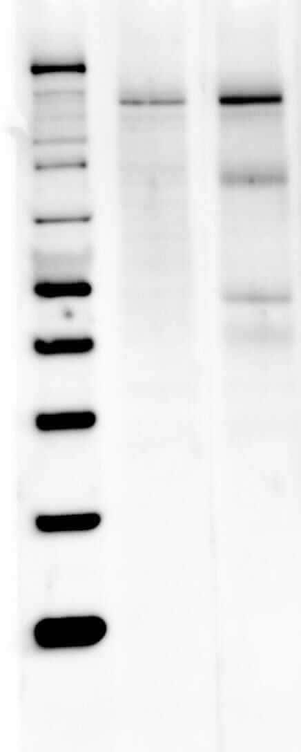 nNOS Antibody in Western Blot (WB)