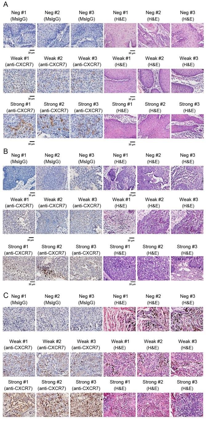 Cxcr7 Antibody