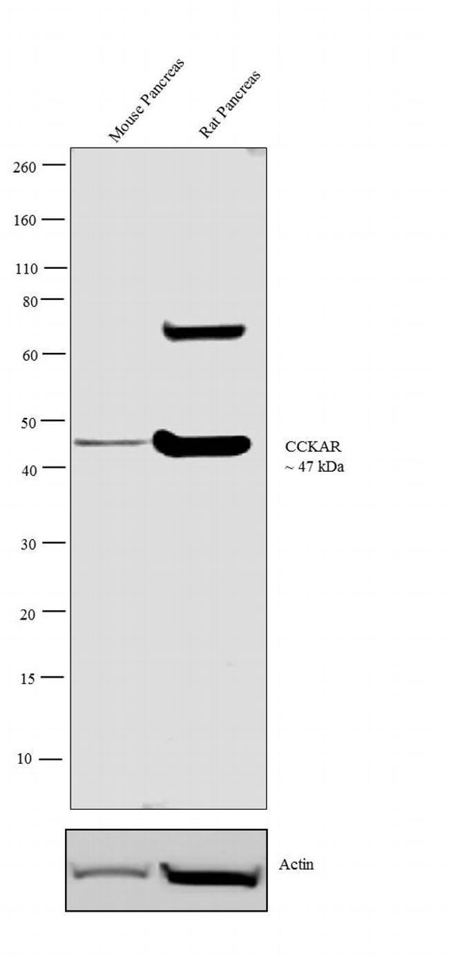 CCKAR Antibody in Western Blot (WB)