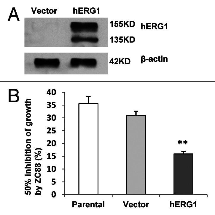 KCNH2 Antibody