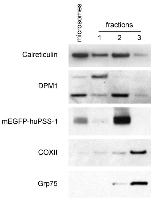 Calreticulin Antibody