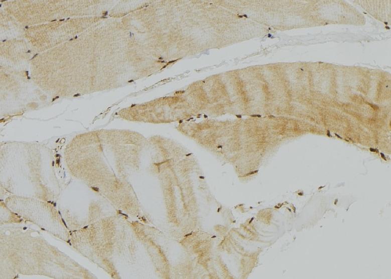 GFER Antibody in Immunohistochemistry (Paraffin) (IHC (P))