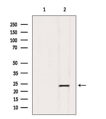 GFER Antibody in Western Blot (WB)