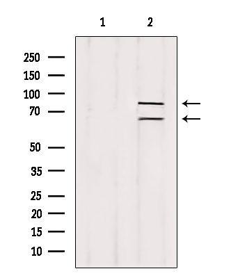 Melanophilin Antibody in Western Blot (WB)