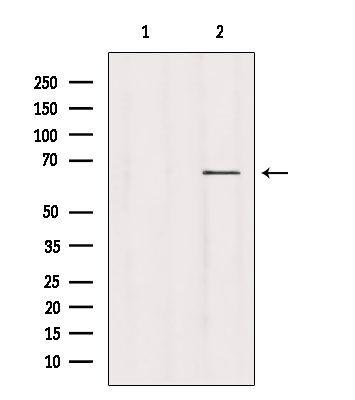 USP39 Antibody in Western Blot (WB)