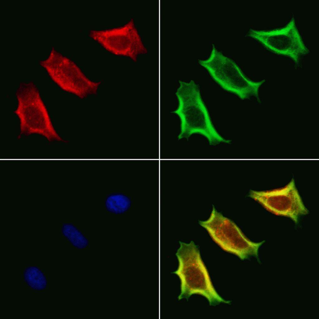 VPS33B Antibody in Immunofluorescence (IF)