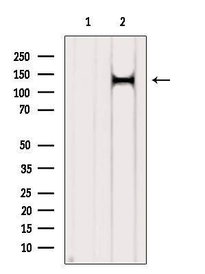 PER2 Antibody in Western Blot (WB)