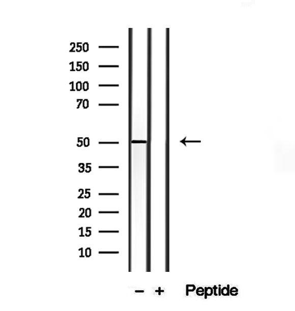 CRLS1 Antibody in Western Blot (WB)