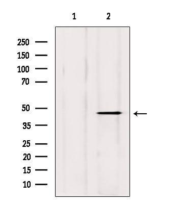 DOM3Z Antibody in Western Blot (WB)