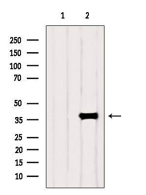 PIK3IP1 Antibody in Western Blot (WB)