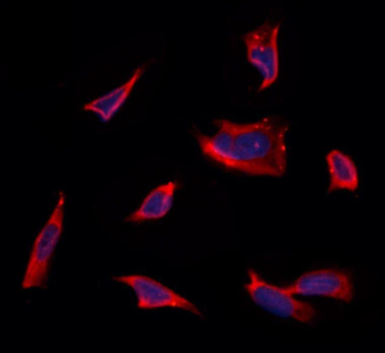 CRALBP Antibody in Immunofluorescence (IF)