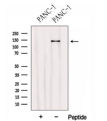 HEPH Antibody in Western Blot (WB)