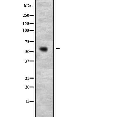 PSPC1 Antibody in Western Blot (WB)