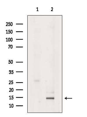 Eotaxin 2 Antibody in Western Blot (WB)