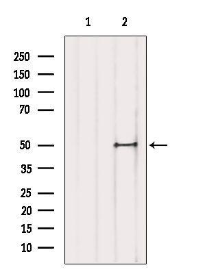 TFAP2D Antibody in Western Blot (WB)