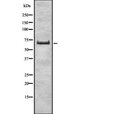ZSCAN2 Antibody in Western Blot (WB)
