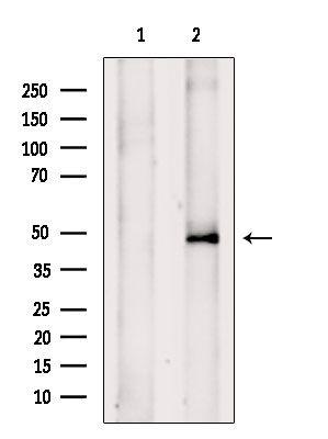 TRIM31 Antibody in Western Blot (WB)