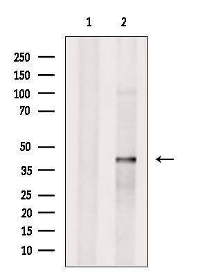 SLC35C2 Antibody in Western Blot (WB)