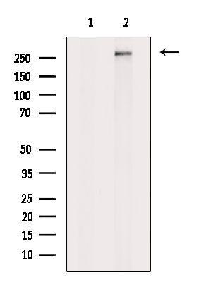 PLCE1 Antibody in Western Blot (WB)