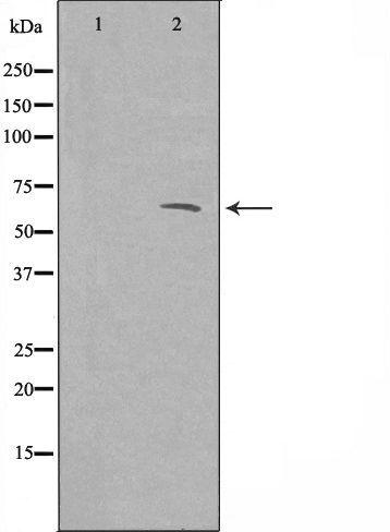 ATF3 Antibody in Western Blot (WB)