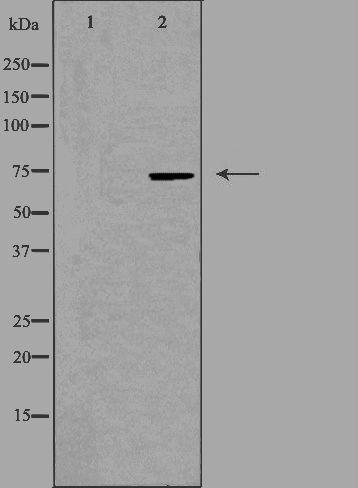 BRF1 Antibody in Western Blot (WB)
