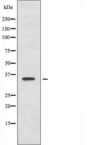 CNOT7 Antibody in Western Blot (WB)
