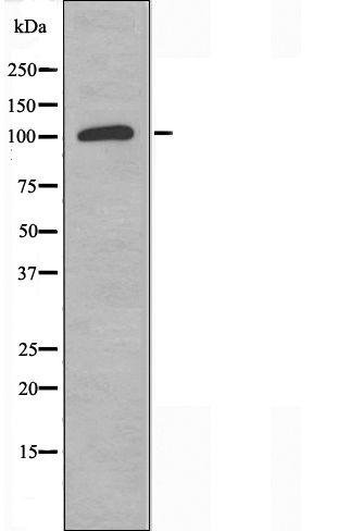 AOX1 Antibody in Western Blot (WB)