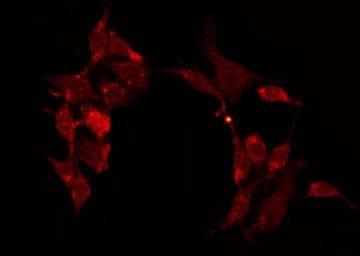 Contactin 6 Antibody in Immunofluorescence (IF)