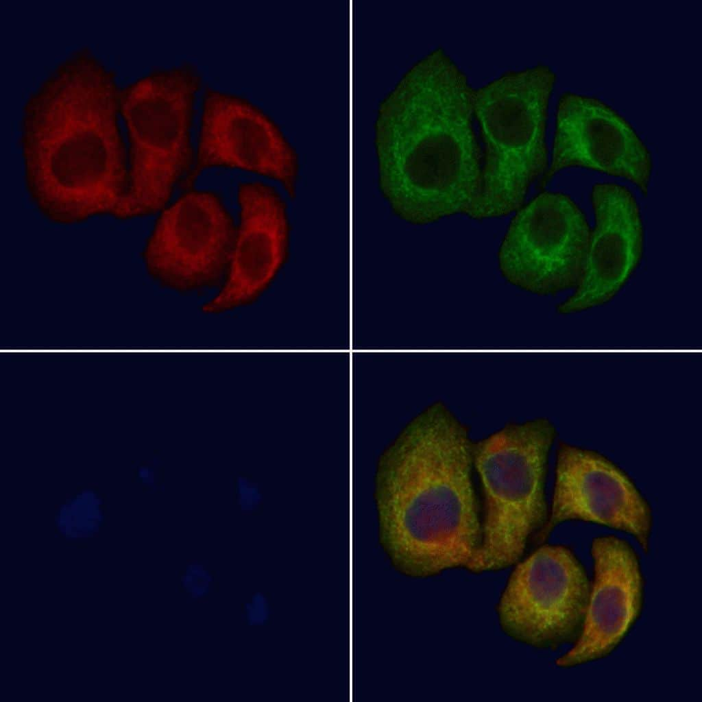 CNGB1 Antibody in Immunocytochemistry (ICC/IF)