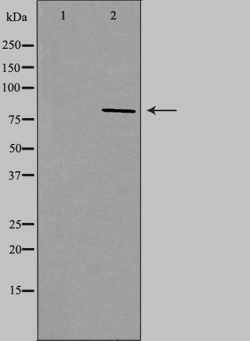 NOC2L Antibody in Western Blot (WB)